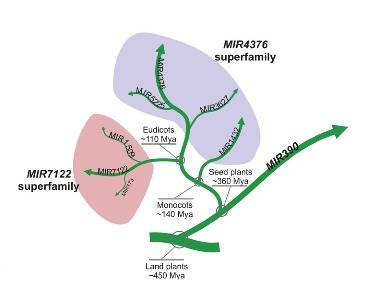 MicroRNA Superfamilies Descended from miR390 and Their Roles in Secondary Small Interfering RNA Biogenesis in Eudicots | Biological identity probes | Scoop.it