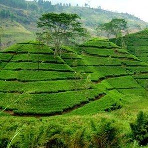 Sur la route du thé Ceylan au Sri Lanka | Actu & Voyage au Sri Lanka | Scoop.it