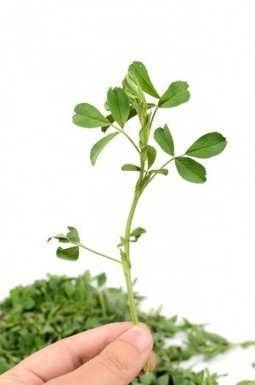 What is Alfalfa?   Expert nutrition and exercise blog   Scoop.it