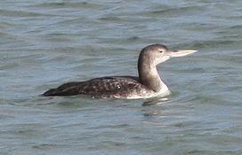 Kerry Birding: White-billed Diver still present | Birding Britain & Ireland | Scoop.it