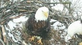 Bald eagles make return to Minnesota DNR webcam | #WildlifeWatch | Scoop.it