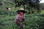 Geography of Tea | SCIENCE&ENGLISH | Scoop.it