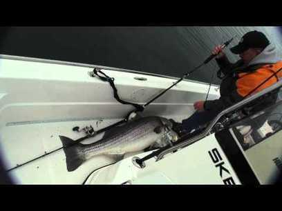 74 pound striped bass! Largest striper ever caught on video ...   Nova Scotia Fishing   Scoop.it