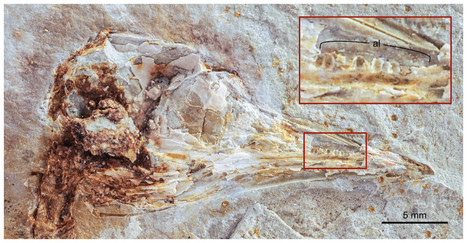 Feathery Fossil Offers Insights into the Flight and Diet of an Early Bird | Paleontology News | Scoop.it