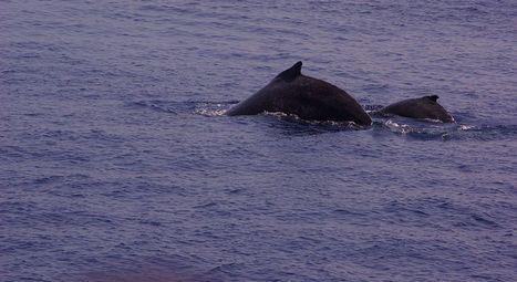 Une baleine à bosse localisée au large d'Ostende - RTBF Belgique   Un peu de tout et de rien ...   Scoop.it