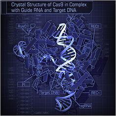 L'outil CRISPR/Cas9 ouvre la voie à la modification génétique de populations sauvages – Agro-Nouvelles | Veille Scientifique Agroalimentaire - Agronomie | Scoop.it