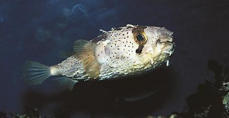 Puffer/Blowfish Facts | All about water, the oceans, environmental issues | Scoop.it
