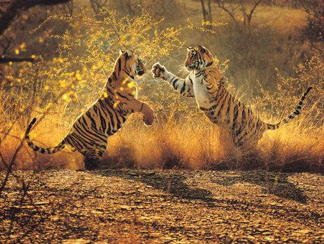 Species Brief: The Tiger (Panthera tigris)   Year 7 Science: Endangered Species – Tigers across Asia   Scoop.it