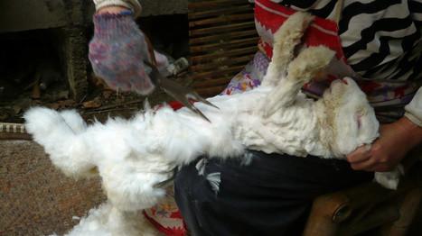 Lapins torturés en Chine : H&M arrête l'angora   earthmergency   Scoop.it