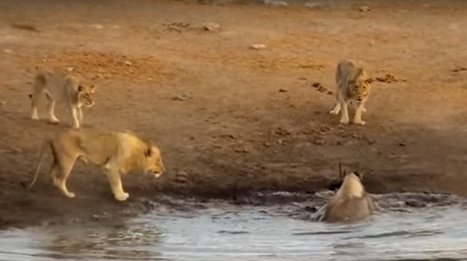 WATCH: 3 Lions attack black rhino stuck in mud | What's Happening to Africa's Rhino? | Scoop.it