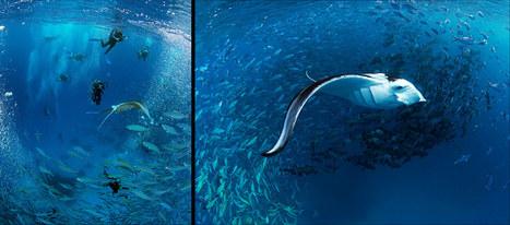 Un superbe site pour les raies Manta à Palau Micronesie   Rays' world - Le monde des raies   Scoop.it