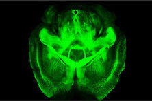 Mysterious Brain Circuitry Becomes Viewable   hotchpotch   Scoop.it