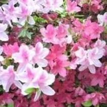 Dogwoods and Azaleas | Springtime | Scoop.it