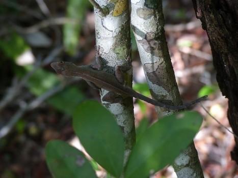 Photos gratuites et libres de droits de lézards de Cuba - lizards of Cuba - Lézard - lizard - Page 2 | Fauna Free Pics - Public Domain - Photos gratuites d'animaux | Scoop.it