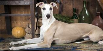 Whippet, un cane chic, forte, rustico e pieno di sorprese   best5.it   Scoop.it