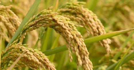 New Genetically Modified Rice Could Feed Billions | MishMash | Scoop.it