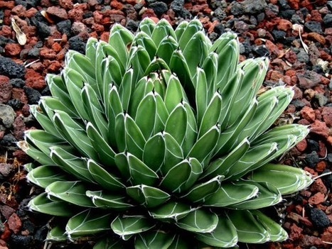Agave victoriae-reginae – Queen Victoria Agave, Royal Agave | World of Succulents | Succulents | Scoop.it