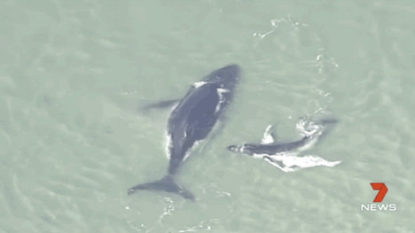 Desperate Whale Calf Tries to Free Its Mother From a Sandbank | Compassion in Action | Scoop.it