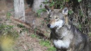 Is It OK to Let These Wolves Go Extinct in the Wild? | animals rights and protection | Scoop.it
