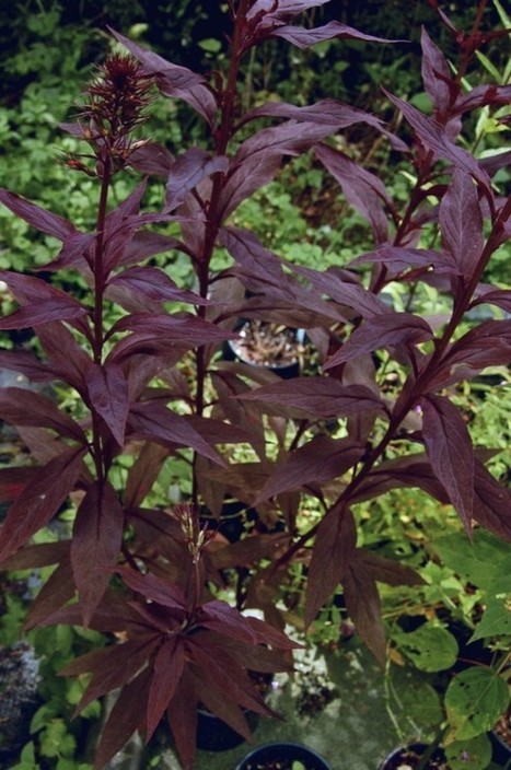 A Truly Regal Cardinal Flower? | Anything Goes in the Garden | Scoop.it