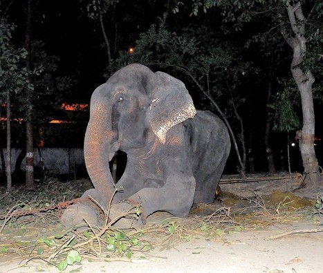 One Year Ago, This Elephant Was Weeping In Chains | Nature Animals humankind | Scoop.it