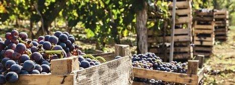 Vendanges: Forts contrastes au sein du vignoble français | Vins et spiritueux | Scoop.it