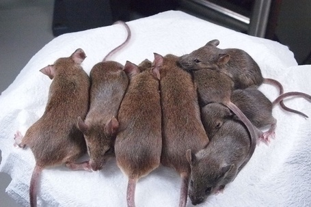 Scientists have perfected mouse re-cloning to the 25th generation with mice having a normal life span | Amazing Science | Scoop.it
