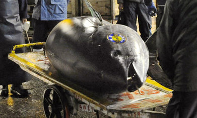 Increase in demand or decrease in supply or both? Why bluefin tuna have no 'fair' price | #ASMIC | Scoop.it