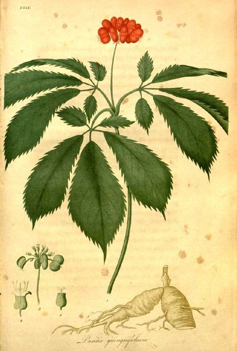 Ginseng Relieves Cancer-Related Fatigue | Fit as a fiddle | Scoop.it