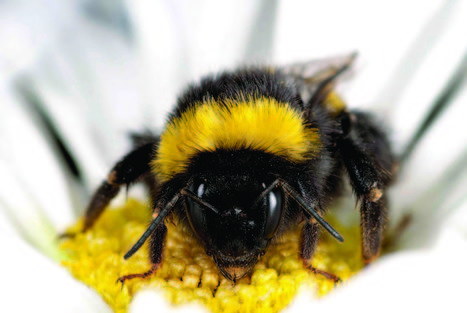 Managed honeybees linked to new diseases in wild bees | What's Happening to Our World | Scoop.it