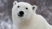 Polar bears had Irish grizzly ancestor - Technology & Science - CBC News   Inuit Nunangat Stories   Scoop.it