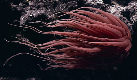 Descubren especies desconocidas en las profundidades del Pacífico | Biología de Cosas de Ciencias | Scoop.it