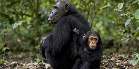 VIDEO. Explorez virtuellement le parc des chimpanzés de Jane Goodall | digital museum | Scoop.it