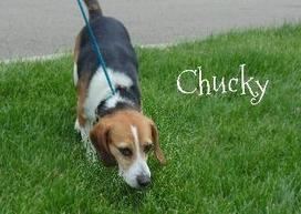 Petfinder  Adoptable | Dog | Beagle | Steubenville, OH | CHUCKY | Nature wildlife and animal welfare and rights | Scoop.it