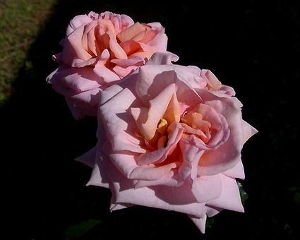 Biltmore Garden Rose Collection News | Annie Haven | Haven Brand | Scoop.it