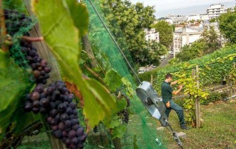 Les vendanges en vert....à Paris | Le Vin et + encore | Scoop.it