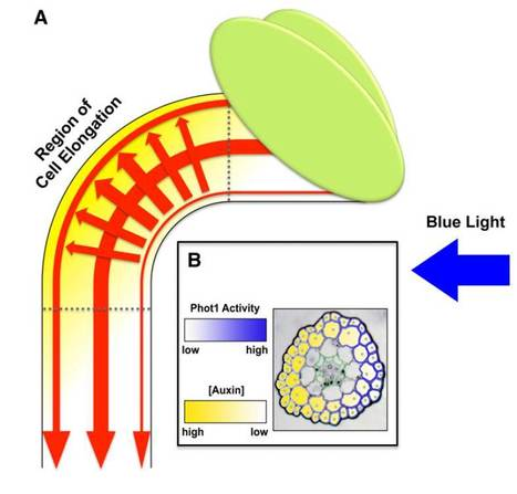 Plant Cell (Review): Phototropism Growing towards an Understanding of Plant Movement | Plant Biology Teaching Resources (Higher Education) | Scoop.it