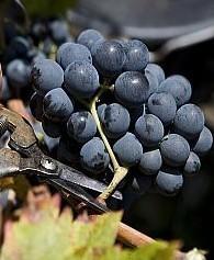 Oenotourisme : s'initier aux vendanges en Vallée du Rhône | Vendanges en Vallée du Rhône-Harvest in Rhône Valley | Scoop.it