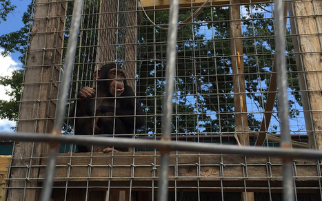 Help Chimpanzees in Solitary Confinement | Introduce new course in schools called COMPASSION | Scoop.it