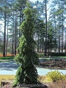 Picea omorika 'Pendula Bruns' (Weeping Blue Spruce) | Garden Design with Wallace Gardens | Scoop.it