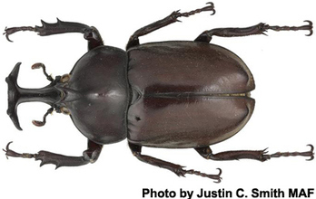 Korean Rhinoceros Beetle Industry Threatened by Virus | Virology News | Scoop.it