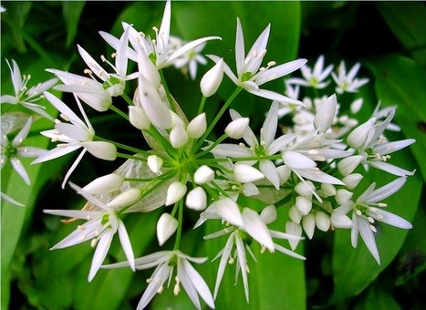 Wild Garlic Growing Tips and Guidelines | Myfoodforu.com | Myfoodforu: All About Food, Travel, Health and Beauty | Scoop.it