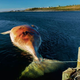 Most Whale Deaths in Past 40 Years Were Caused by Humans   No Such Thing As The News   Scoop.it