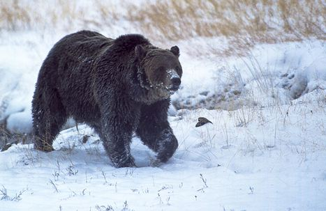 Death at Yellowstone: Feds probe shooting of 'Scarface,' the park's most famed grizzly | GarryRogers Biosphere News | Scoop.it