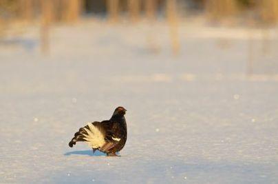 Natuurbericht: Korhoenders adopteren nieuw leefgebied   birding   Scoop.it