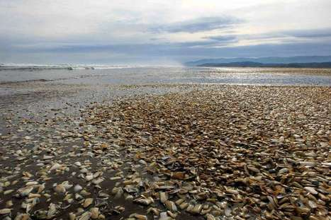 Wave of dead sea creatures hits Chile's beaches | GarryRogers Biosphere News | Scoop.it