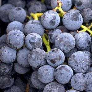 New York's and Israel's grape expectations | Jewish Education Around the World | Scoop.it