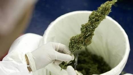 Tilburg staat kweken medicinale cannabis toe | Medicinale-cannabis | Scoop.it