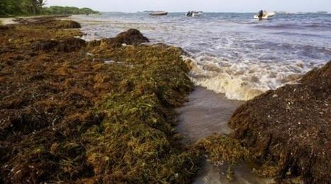 Antilles: des fonds et une conférence pour lutter contre les algues sargasses | Biodiversité | Scoop.it