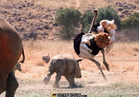 19.-rhino-calf-and-ostrich-596x413.jpg (596x413 pixels) | Interesting Photos | Scoop.it